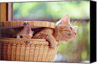 Domestic Animals Photography Canvas Prints - Kittens In Basket Canvas Print by Sarahwolfephotography