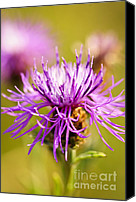 Weed Canvas Prints - Knapweed flower Canvas Print by Elena Elisseeva