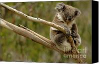 Koala Canvas Prints - Koala At Work Canvas Print by Bob Christopher