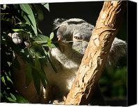 Koala Canvas Prints - Koala Bear 3 Canvas Print by Anthony Jones