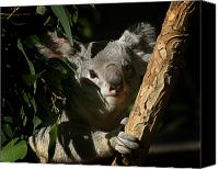 Koala Canvas Prints - Koala Bear 5 Canvas Print by Anthony Jones