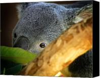 Koala Canvas Prints - Koala Bear  Canvas Print by Anthony Jones
