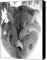 Koala Canvas Prints - Koala Bear Canvas Print by Terry Burgess