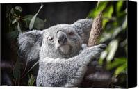 Koala Canvas Prints - Koala Bear Canvas Print by Tom Mc Nemar