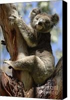 Koala Canvas Prints - Koala Canvas Print by Bob Christopher