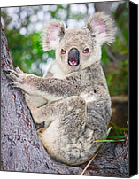 Koala Canvas Prints - Koala  Canvas Print by Johan Larson