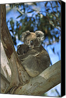 Koala Canvas Prints - Koala Phascolarctos Cinereus Mother Canvas Print by Konrad Wothe