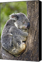 Koala Canvas Prints - Koala Phascolarctos Cinereus Sleeping Canvas Print by Pete Oxford