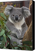 Koala Canvas Prints - Koala Phascolarctos Cinereus Canvas Print by Zssd