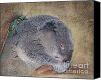 Koala Canvas Prints - Koala Sleeping Canvas Print by Betty LaRue