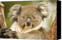 Koala Canvas Prints - Koala Snack Canvas Print by Mike  Dawson