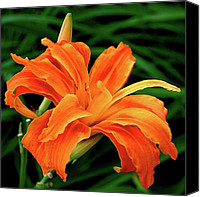 Orange Flower Photo Canvas Prints - Kwanso Lily Canvas Print by Rona Black
