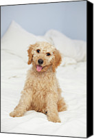 Dog Bed Photo Canvas Prints - Labradoodle Puppy On Bed Canvas Print by American Images Inc