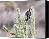 Woodpecker Canvas Prints - Ladder Backed Woodpecker Resting On Ganders Cholla Canvas Print by Photo by Patricia Ware