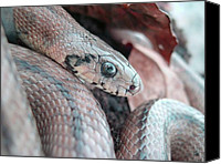Wildlife Pyrography Canvas Prints - Ladder Snake Canvas Print by Vejay Singh