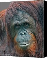 Orangutan Photo Canvas Prints - Lady Of The Forest Canvas Print by Larry Linton