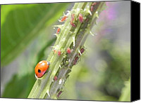 Insects Pastels Canvas Prints - Ladybird going to dine on ayphids Canvas Print by Eamon Gilbert