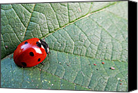 Olivia Narius Canvas Prints - Ladybird Canvas Print by Olivia Narius