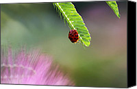 Mimosa Tree Leaf Canvas Prints - Ladybug with Mimosa Canvas Print by Jason Politte