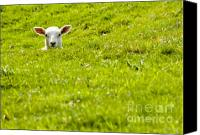 Stare Canvas Prints - Lamb In A Dip Canvas Print by Meirion Matthias