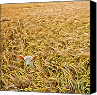 Lost Canvas Prints - Lamb With Barley Canvas Print by Meirion Matthias