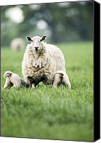 Suckling Canvas Prints - Lambs Suckling From A Ewe Canvas Print by Jeremy Walker