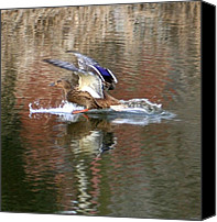 Ducks Pyrography Canvas Prints - Landing Duck Canvas Print by Valia Bradshaw