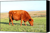 Bulls Canvas Prints - Landscape With Cow Grazing In The Field . 7D9933 Canvas Print by Wingsdomain Art and Photography