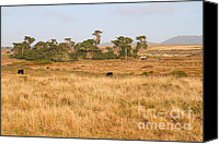 Bulls Canvas Prints - Landscape With Cows Grazing In The Field . 7D9957 Canvas Print by Wingsdomain Art and Photography