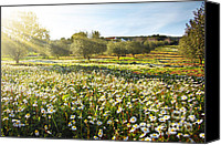 Blossom Canvas Prints - Landscape with Daisies Canvas Print by Carlos Caetano
