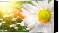 Grow Digital Art Canvas Prints - Large daisy in a sunlit field of flowers Canvas Print by Sandra Cunningham