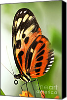 Antenna Canvas Prints - Large tiger butterfly Canvas Print by Elena Elisseeva