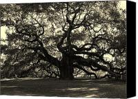 Historic Canvas Prints - Last Angel Oak 72 Canvas Print by Susanne Van Hulst