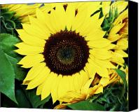 Sunflowers Canvas Prints - Last of the Sunflowers Canvas Print by Cathie Tyler
