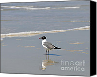 Aves Canvas Prints - Laughing Gull Reflecting Canvas Print by Al Powell Photography USA