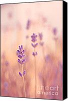 Lavender Canvas Prints - Lavandines 02 - s09a Canvas Print by Variance Collections