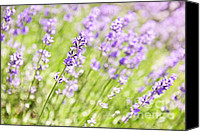 Lavender Canvas Prints - Lavender blooming in a garden Canvas Print by Elena Elisseeva