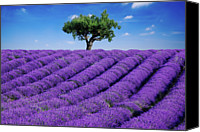 Solitude Canvas Prints - Lavender Field And Tree Canvas Print by Matteo Colombo