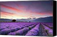 Growth Photo Canvas Prints - Lavender Field Canvas Print by Evgeni Dinev Photography
