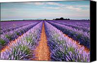 Provence Canvas Prints - Lavender Field In Blossom Canvas Print by Matteo Colombo