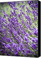 Italian Mediterranean Art Canvas Prints - Lavender Canvas Print by Frank Tschakert
