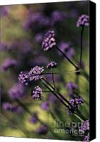 Violet Prints Photo Canvas Prints - Lavender Garden I Canvas Print by Jayne Logan Intveld