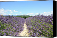 Dirt Road Canvas Prints - Lavender In Provence Canvas Print by Thomas Chung Siu Chung