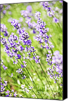 Outdoor Canvas Prints - Lavender in sunshine Canvas Print by Elena Elisseeva
