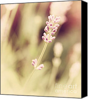 Fine Art Photo Canvas Prints - Lavender Canvas Print by Kristin Kreet