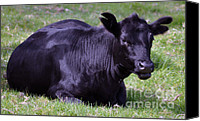 Black Angus Canvas Prints - Lazy Cow Canvas Print by Joanne Kocwin