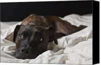 Dog Bed Photo Canvas Prints - Lazy Days Canvas Print by Drew Castelhano