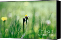 Dandelions Canvas Prints - Le Centre de l Attention - GREEN s0101 Canvas Print by Variance Collections