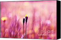 Dandelions Canvas Prints - Le Centre de l Attention - PINK s0301 Canvas Print by Variance Collections
