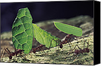 Ant Canvas Prints - Leafcutter Ant Atta Cephalotes Workers Canvas Print by Mark Moffett